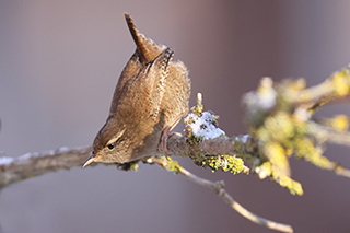 Wren in snow