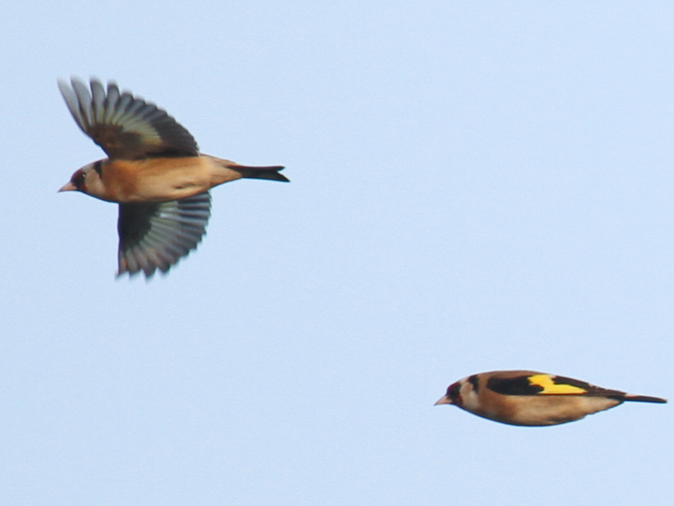 Goldfinches in Flight