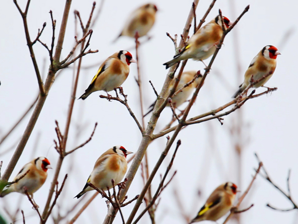 Group of Goldfinches